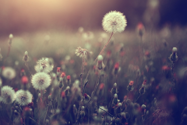 nature sunset grass dandelion - photo #23